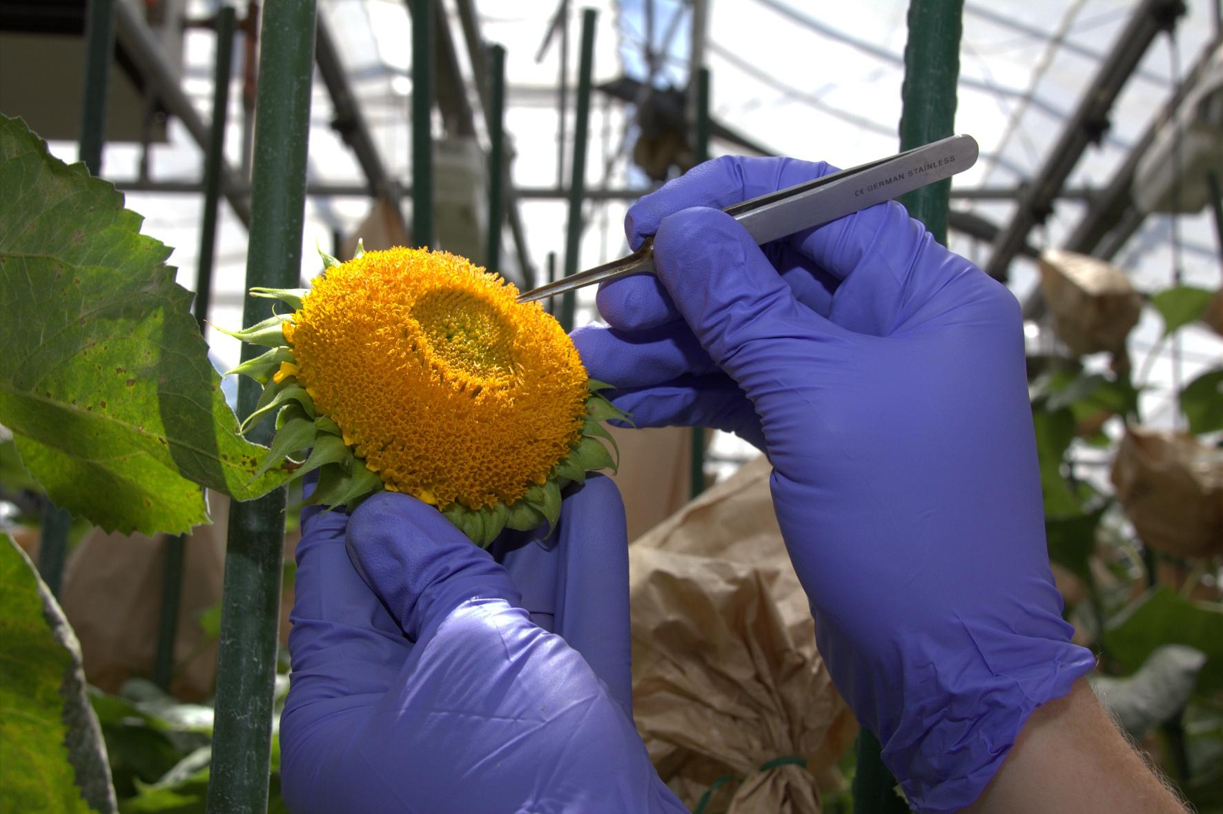 Gros plan sur le travail de la sélection végétale